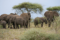 TANZANIA, Serengeti Nationalpark, herd of african elephants
