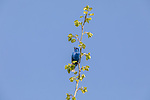 Male indigo bunting singing from the top of an aspen tree.