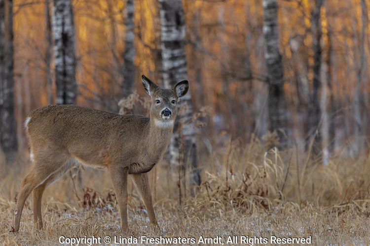 The sun is setting behind a white-tailed fawn in northern Wisconsin.