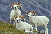 Dall Sheep Rams, Ovis dalli, on Mount Wright in the Alaska Range, Denail National Park, Alaska, AGPix_0031.