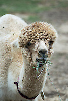 Alpaca portrait.