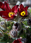 Pasque flowers bloom in Gardnerville, Nev., on Tuesday, March 16, 2021.<br /> Photo by Cathleen Allison