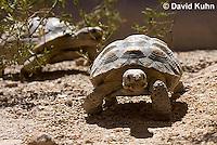0609-1025  Desert Tortoise (Mojave Desert), Gopherus agassizii  © David Kuhn/Dwight Kuhn Photography