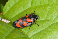 Blutzikade, Blut-Zikade, Cercopis vulnerata, red-and-black froghopper