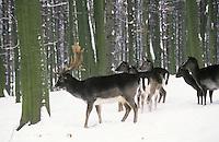 Damhirsch, Dam-Hirsch, Damwild, Hirsch, Männchen und Gruppe von Weibchen im Schnee, Dam-Wild, Cervus dama, Dama dama, fallow deer