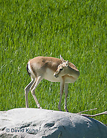 1222-1005  Goitered Gazelle (Black-tailed or Persian gazelle) in Grassland, Gazella subgutturosa  © David Kuhn/Dwight Kuhn Photography