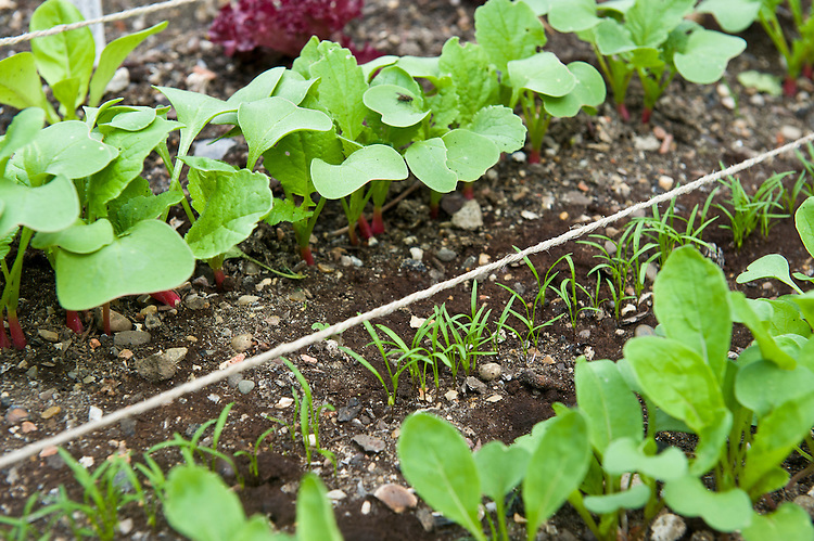 Neat rows of young vegetable seedlings - including rocket, radishes, carrot 'Resistafly', and lettuces 'Green Hearting' and 'Lollo Rosso', mid June.