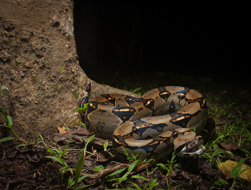 Boa Constrictor (boa constrictor) -- A popular snake in the pet trade, this large boa is widespread throughout Central and South America. It feeds on rodents, birds, and whatever else it can catch, constrict, and swallow-- up to and including small deer and even ocelots. Cahuita, Costa Rica.
