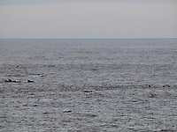 Short finned pilot whales, short fin pilot whales, Globicephala macrorhynchus, near seismic survey towed streamer array, research