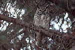 Portrait of a great horned owl perched on a branch in Wyoming.