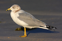 Ring-billed gull in winter plumage
