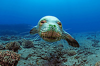 Hawaiian monk seal, Neomonachus schauinslandi, endemic species, critically endangered species, Lehua, Hawaii, USA, Pacific Ocean