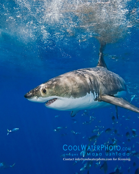 great white shark with its jaw open, Carcharodon carcharias, and schooling jack mackerels, Trachurus symmetricus, off Guadalupe Island, Mexico, East Pacific Ocean