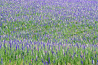 Mixed larkspur flower field. Near Silver Falls State Park, Oregon