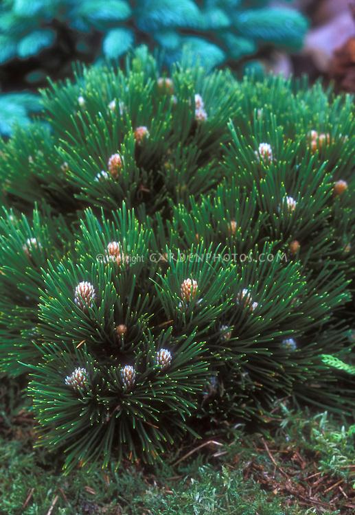 Miniature dwarf Bosnian Pine, Pinus heldreichii Smidtii