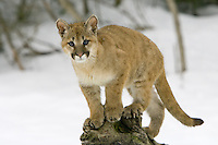 Puma kitten watching intently from on top of a log - CA
