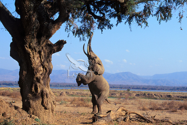 African Elephant bull (Loxodonta africana) feeding on tree branches--reaches up and breaks off branch with his trunk.  Mana Pools National Park, Zimbabwe,  Africa.  A big bull can forage upto 20 feet--higher that a giraffe can reach.