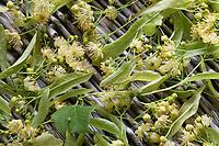 Lindenblüten trocknen, Trocknung von Lindenblüten, Linde, Lindenblüte, Holländische Linde, Hybridlinde, Hybrid-Linde, Tilia x europaea, Tilia x vulgaris, Tilia cordata x Tilia platyphyllos, Lime, Common Lime, linden, common linden, Le tilleul commun