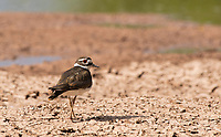 A Killdeer, Charadrius vociferus, walks on the shore of a lake in the Riparian Preserve at Water Ranch, Gilbert, Arizona