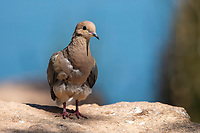 A Mourning Dove, Zenaida macroura, perches on a rock in the Riparian Preserve at Water Ranch, Gilbert, Arizona