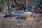 Adult Giant Coua (Coua gigas) foraging on the forest floor. Kirindy Forest, western Madagascar.