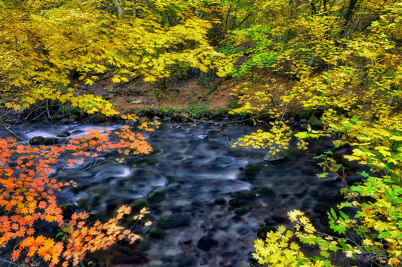 Fall colored Vine Maple trees and Lake Creek. Central Oregon