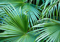 Palm fronds overlapping each other
