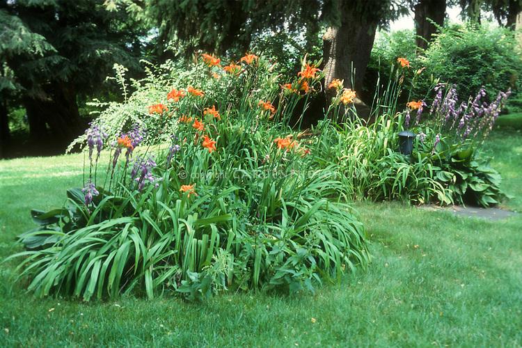 Hosta and Hemerocallis orange flowered daylilies in bloom in shade garden in lawn grass, backyard island perennial plant plantings under trees