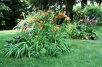 Hosta and Hemerocallis orange flowered daylilies in bloom in shade garden in lawn grass, backyard island perennial plant plantings under trees