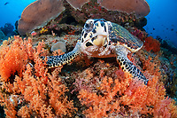 hawksbill sea turtle, Eretmochelys imbricata, and soft coral, Raja Ampat, West Papua, Indonesia, Pacific Ocean