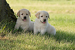 Yellow Labrador retriever (AKC) puppies sitting in the shade of a tree