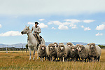 EL CALAFATE - FEBRUARY 17: A gaucho herds sheep on a ranch near El Calafate in the Patagonia region of Argentina.  The gaucho is one of the best known cultural symbols of Argentina.
