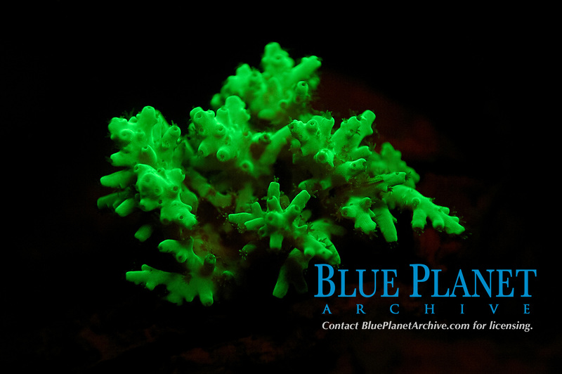 glowing fluorescent hard coral, illuminated by blacklight, at night, Koror Bay, Palau, Pacific Ocean