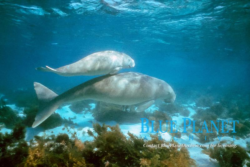 dugongs, Dugong dugon, calf rides astride mother's back, Shark Bay, Western Australia, Indian Ocean