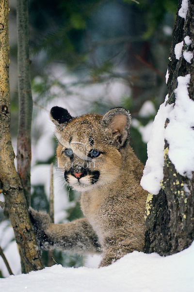 Young Mountain Lion kitten (Felis Concolor) in winter snow.