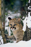 Young Mountain Lion kitten (Felis Concolor) in winter snow.