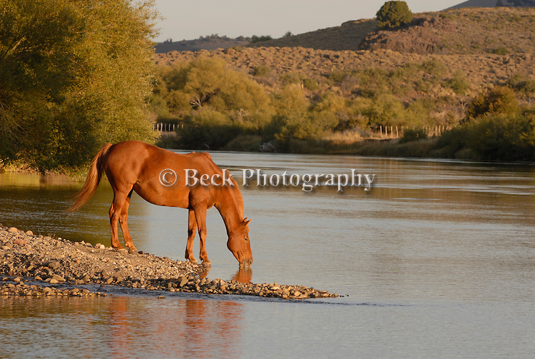 A horse taking a drink.