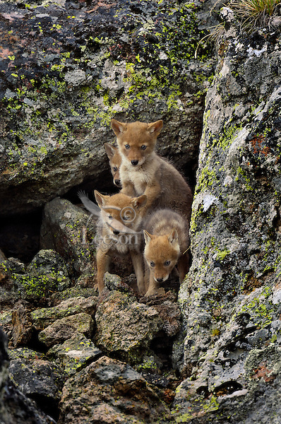 Wild Coyotes (Canis latrans) pups.  Western U.S., June.  The dark, shadowed area behind the pups is one of the den entrances.  The den was under a large boulder.