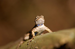 Young Bluebelly Lizard Western Fence Lizard Franklin Canyon