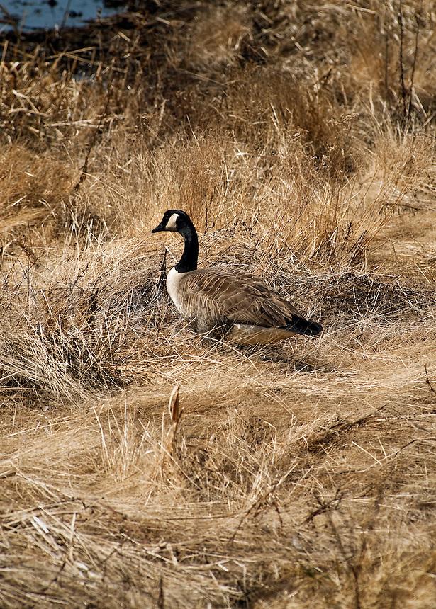 Canadian goose.