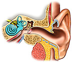 Depicts the primary normal anatomy of the ear. It features the following normal anatomical structures of the ear: Auricle (ear lobe), external auditory meatus, tympanic membrane (ear drum) middle ear and ossicles (bons), malleus (hammer), incus (anvil), stapes (stirrup), round window, inner ear, semicircular canals, cochlea, eustachian tube and cochlear nerve.