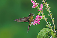 Tyrian Metaltail (Metallura tyrianthina), adult feeding on sage flower, Papallacta, Ecuador, Andes, South America