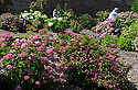 """20/06/16<br /> <br /> L to R: Helen Bousie, Alf Bousie and Janet Dean hard at work.<br /> <br /> Tucked away in a hidden walled garden of an inner-city public park, the UK's largest hydrangea collection is putting on its best display ever, following the sudden heatwave after several months of rain.<br /> <br /> Full story:  <br /> <br /> https://fstoppressblog.wordpress.com/britains_biggest_hydrangea_garden/<br /> <br /> .And what used to be a flower traditionally associated with """"granny's cottage garden"""" is blooming back into fashion thanks to the rising trend for all things shabby chic and retro-styled.<br /> <br /> There are more than 600 individual hydrangea bushes with a dozen or so different varieties, planted in Derby's Darley Abbey park, formerly part of an estate belonging to the nearby cotton mills.<br /> <br /> All Rights Reserved, F Stop Press Ltd. +44 (0)1773 550665"""