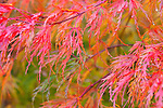 Red Laceleaf Maple, Japanese Maple.  Private garden professionally landscaped.