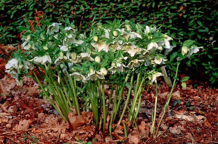 Hellebore x hybridus white with spots, single