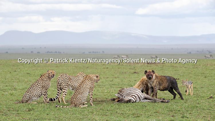 NOTE FOR ONLINE:  MAXIMUM OF 10 IMAGES TO BE USED FROM SET - UNLESS OTHERWISE AGREED.<br /> <br /> Sequence 16 of 16:  Cheetahs are forced to sit and watch hyenas eat their hard-fought kill after they arrived late and claimed it for their own.  The unlucky coalition of five cheetahs spent 30 minutes hunting and killing the zebra at the Masai Mara National Reserve, Kenya.<br /> <br /> But, just as the group of siblings were about to eat their prey, opportunistic hyenas arrived and claimed the carcass as their own. SEE OUR COPY FOR DETAILS.<br /> <br /> Please byline: Patrick Kientz/Naturagency/Solent News<br /> <br /> © Patrick Kientz/Naturagency/Solent News & Photo Agency<br /> UK +44 (0) 2380 458800