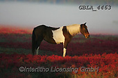 Bob, ANIMALS, REALISTISCHE TIERE, ANIMALES REALISTICOS, horses, photos+++++,GBLA4463,#a#, EVERYDAY
