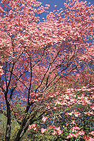 Cornus florida 'Rubra' .Dogwood tree
