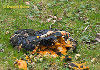 DC10-501z  Pumpkin Fruit and Seeds decaying to soil