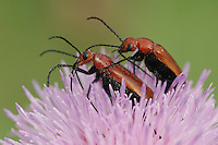 Soldier beetles (Cantharidae), pair mating on Texas thistle (Cirsium texanum), Fennessey Ranch, Refugio, Coastal Bend, Texas, USA